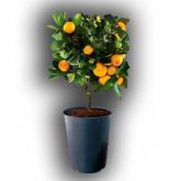 Горшок Citrus